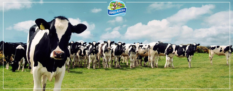 sremska-mlekara-krave-horizontalna